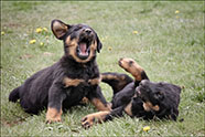 Chiots Beaucerons